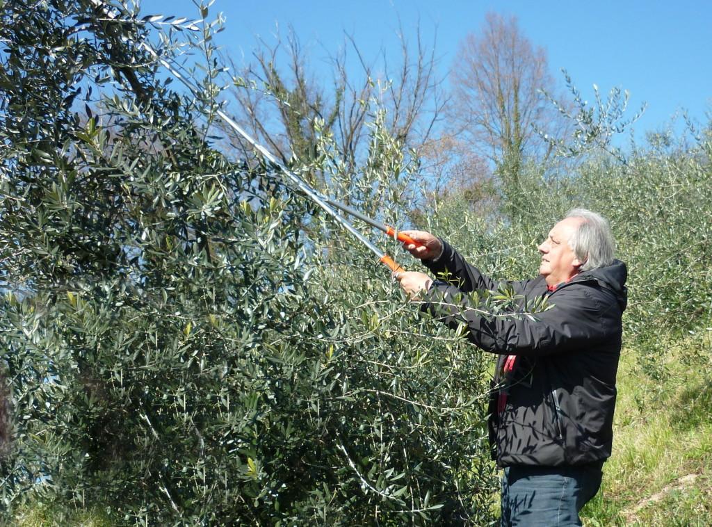 L'esperto ERSA Emilio Scarbolo durante la potatura di un ulivo in località Sottocolli (Castelnovo del Friuli)